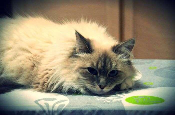 Невська маскарадна кішка: пухнасте диво