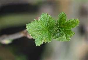 Імуномодулятори в рослинному царстві